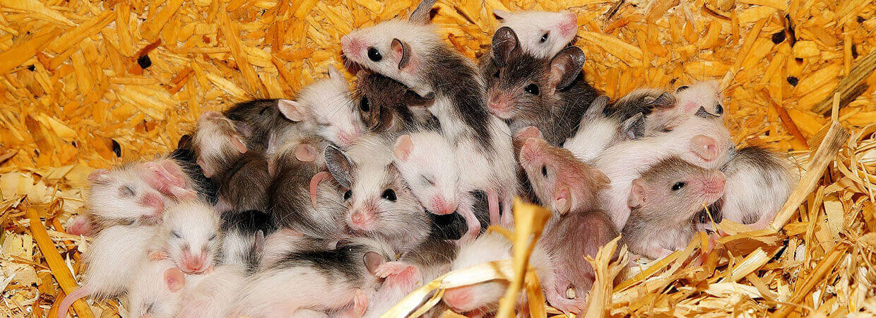 Mice and Rats Infestation