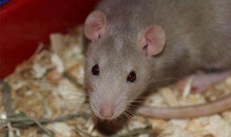 Rat and Mice